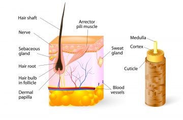 HAIR-ANATOMY-DT2 - ASG Hair Transplant Centre